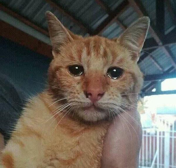 Cat crying meme - Cat meme, Cry - Meme