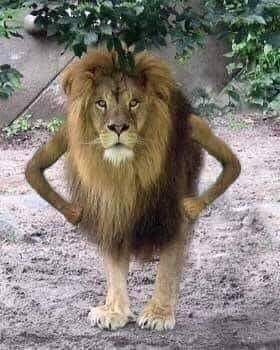 Lion standing like human meme